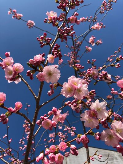 Kirschblüten Flowering Plant Flower Plant Tree Fragility Pink Color Freshness Beauty In Nature Branch Blossom No People Day Cherry Blossom Growth Low Angle View Vulnerability  Sky Springtime