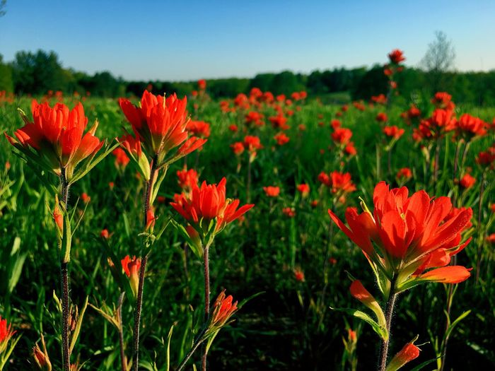 Flower Growth Beauty In Nature Nature Red Plant Petal Fragility Blooming Flower Head Freshness Field No People Outdoors Day Tranquility Close-up Shaw Nature Reserve Missouri Native Indian Paintbrush Flowers Flower Field Red Flowers
