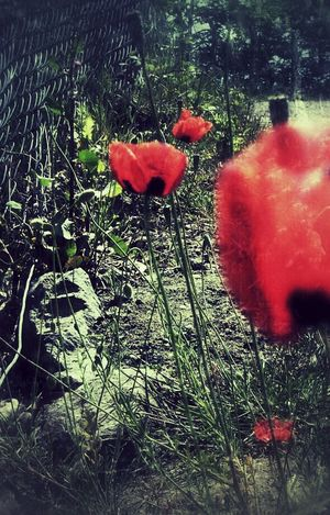 Hanging Out EyeEm Poppy Flowers Life Red WeAreJuxt.com Gang_family Eye4photography