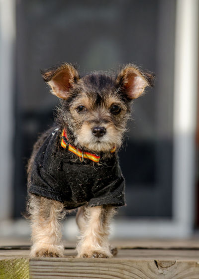 A tiny puppy wearing a small black shirt and orange collar, is all ready for a happy halloween