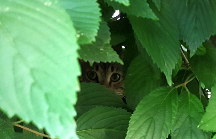 Peek A Boo My View From Here Taking Photos Photo Opportunity Nature Themes Pet Photography  Cat Themes Pet Themes Kitty Cats Of EyeEm Cats Eyes my widdel Furbaby Green Shades Of Green  Bush Plant Hide And Seek Little Hunter Quiet Places This Guy Animal Themes