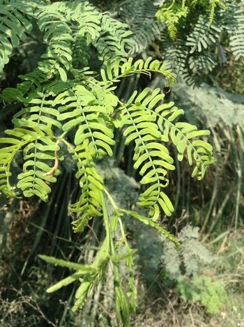Plants 🌱 Green Green Green!  EyeEm Nature Lover Nature Greenleaves Greenry Background Focus Wildlife & Nature Nature Plant Plants Leaves Leaves Only Leaves