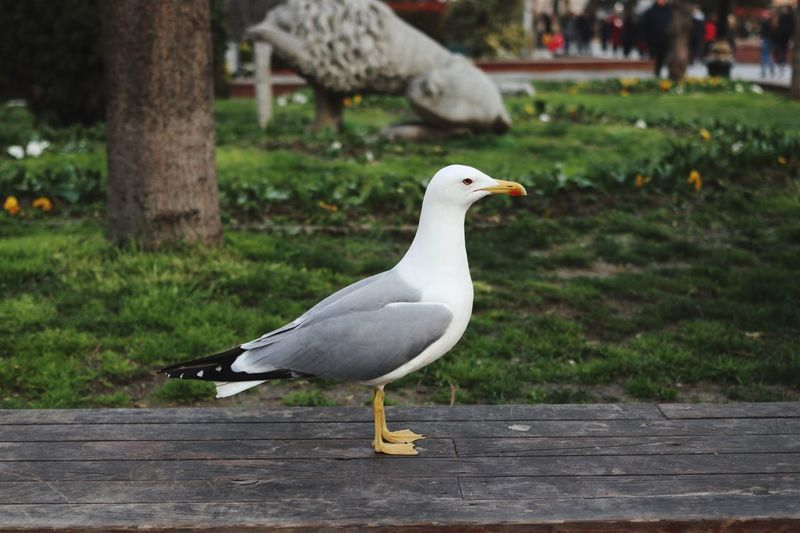 Bird Animal Themes Animals In The Wild Animal Animal Wildlife Vertebrate Focus On Foreground Nature Plant Footpath One Animal Day No People Park Park - Man Made Space Perching White Color Outdoors Grass Seagull