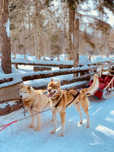 Sled Dog Mammal Animal Animal Themes Snow Winter Domestic Animals Tree Pets Dog Cold Temperature