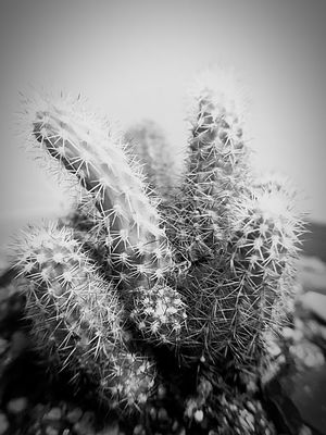 Growth Plant Close-up Cactus Newtalent Houseplant Fragility Focus On Foreground Softness Botany Nature Freshness Thorn Uncultivated Flower Beauty In Nature Spiked Selective Focus Dandelion Seed Day Wildflower Flower Head Monochrome Photography