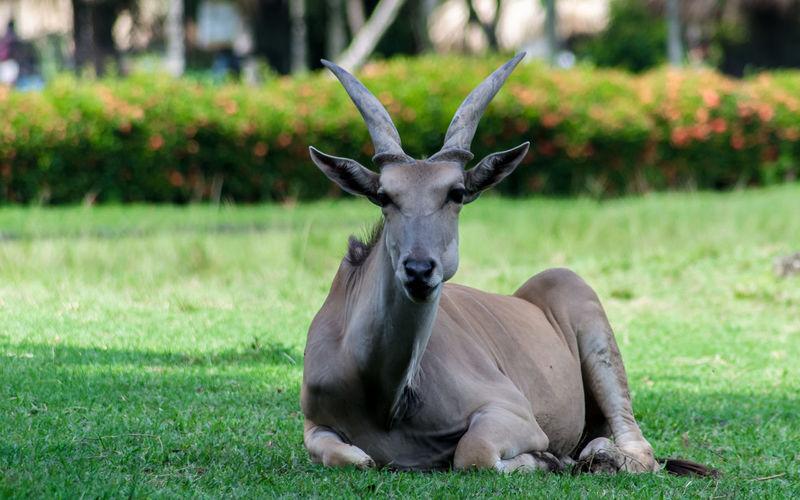 Antelope relaxing on field