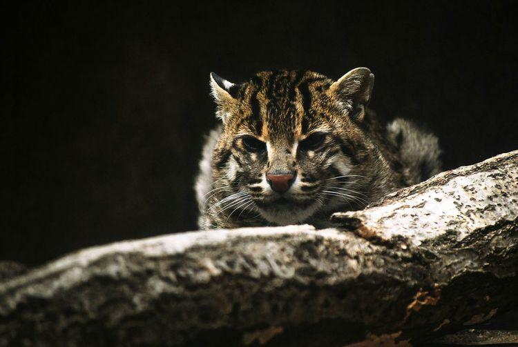 Wildcat 山猫 Zoo 天王寺動物園