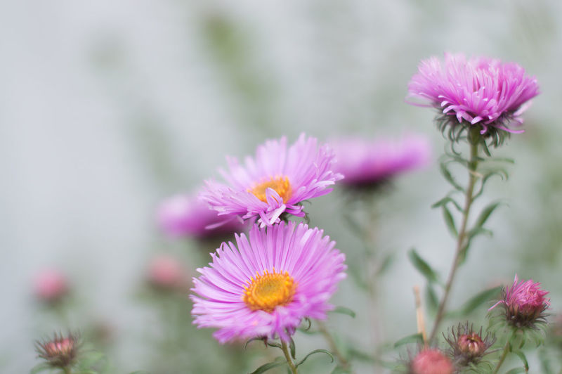 Flower Flowering Plant Plant Freshness Beauty In Nature Fragility Vulnerability  Pink Color Petal Close-up Growth Flower Head Inflorescence No People Focus On Foreground Nature Day Selective Focus Pollen Outdoors Purple Flower Arrangement