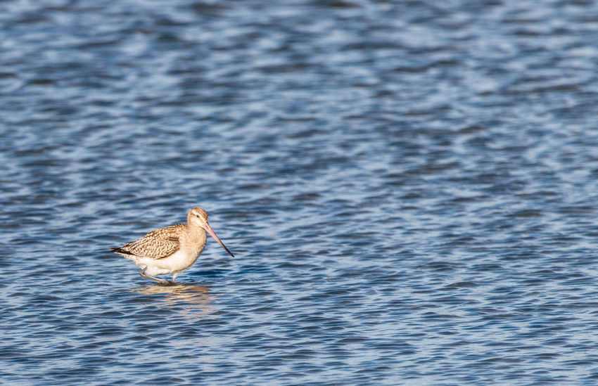 "The bar-tailed godwit (Limosa lapponica) is a large wader in the family Scolopacidae. The genus name Limosa is from Latin and means ""muddy"", from limus, ""mud"". The specific lapponica refers to Lapland.[2] The English term ""godwit"" was first recorded in about 1416–7 and is believed to imitate the bird's call.[3] The bar-tailed godwit breeds on Arctic coasts and tundra mainly in the Old World, and winters on coasts in temperate and tropical regions of the Old World and of Australia and New Zealand.[4] Its migration includes the longest known non-stop flight of any bird and also the longest journey without pausing to feed by any animal. https://en.wikipedia.org/wiki/Bar-tailed_godwit Bird Water Sea Beauty In Nature Godwit Catlins Nz EyeEm Nature Lover EyeEm Best Shots"