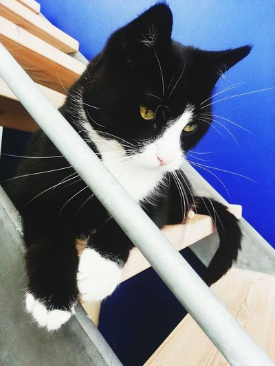 Pet Photography  One Animal Domestic Animals Indoors  Domestic Cat Close-up No People Blue My Fur Baby His Name Is Inkognito Or Just Ink. For Short