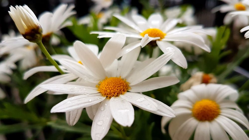 Wet daisies Flowers :) Lovely Nature Beautiful Nature Backgrounds Kwiaty Soft Beautiful Close-up Macro Petals Daisies
