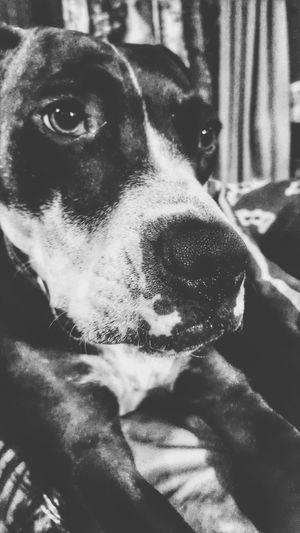 Animal Themes Animal Photography Animal_collection Animal Dogs Of EyeEm Dog Dog Love Pitbull Pitbull Love Pitbull♥ Pitbulllover Pitbull Lover
