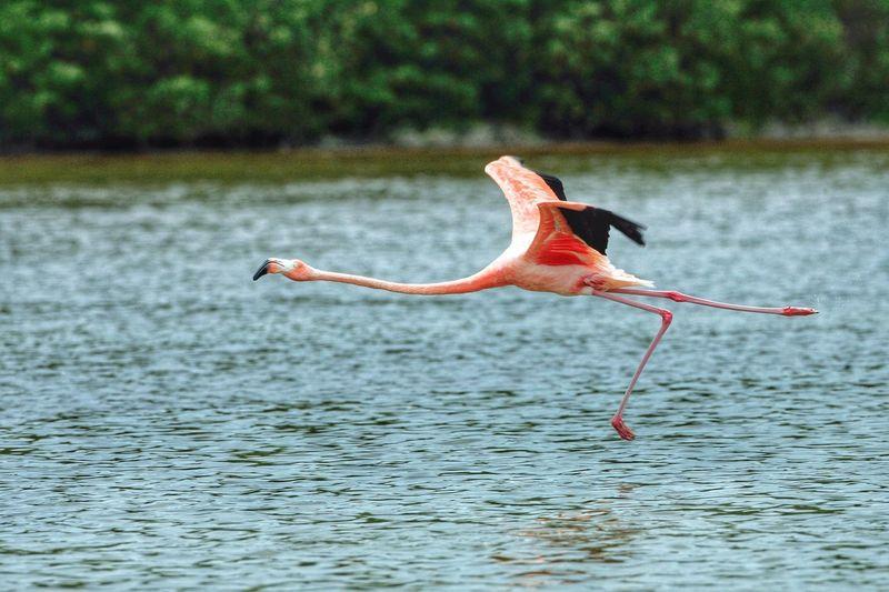 Flamingo flying over lake