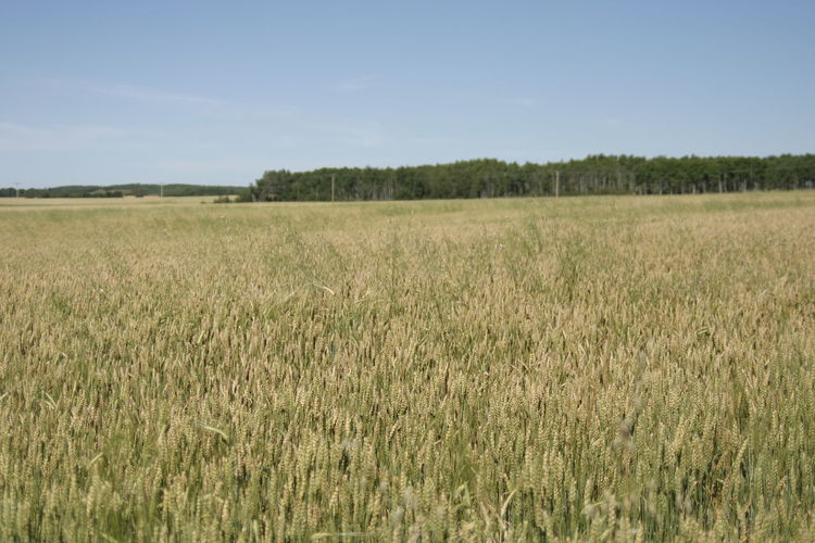 Prairie Scenes Wheat Field Outdoor Photography Nature_collection