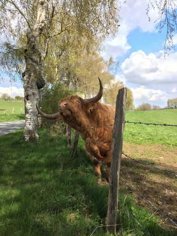 Scottish highland cuttle scratches at the fence Grass One Animal Animal Themes Cloud - Sky Outdoors Scottish Highland Cattle Cattle Animal Barbed Wire Brown Cattle Breeding Cow Farm Field Highland Cow Long Hair Long Horns Longhorn Meadow Scottish Scratching