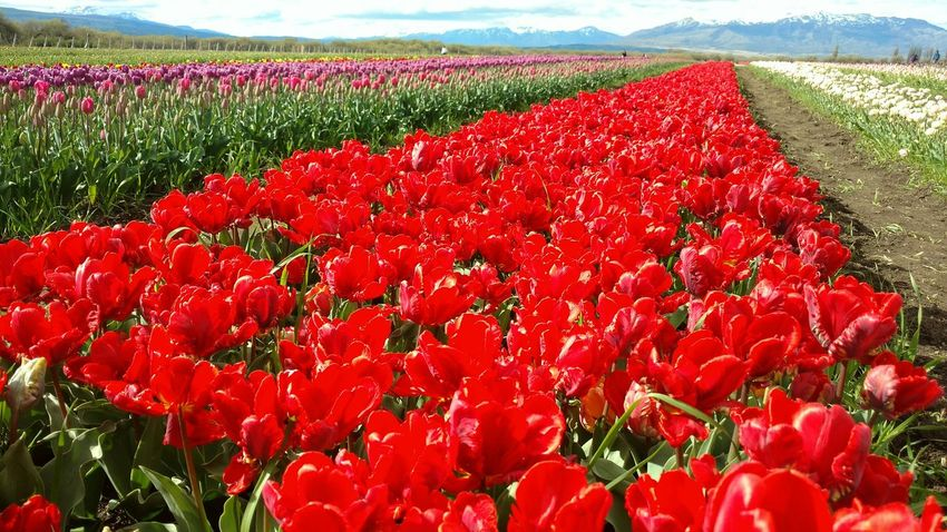 Tulips Flowers Flower Beauty In Nature Vibrant Color Agriculture Petal Rural Scene Spring Planta Agriculture Springtime Cultivo Trevelin Chubut Argentina Red