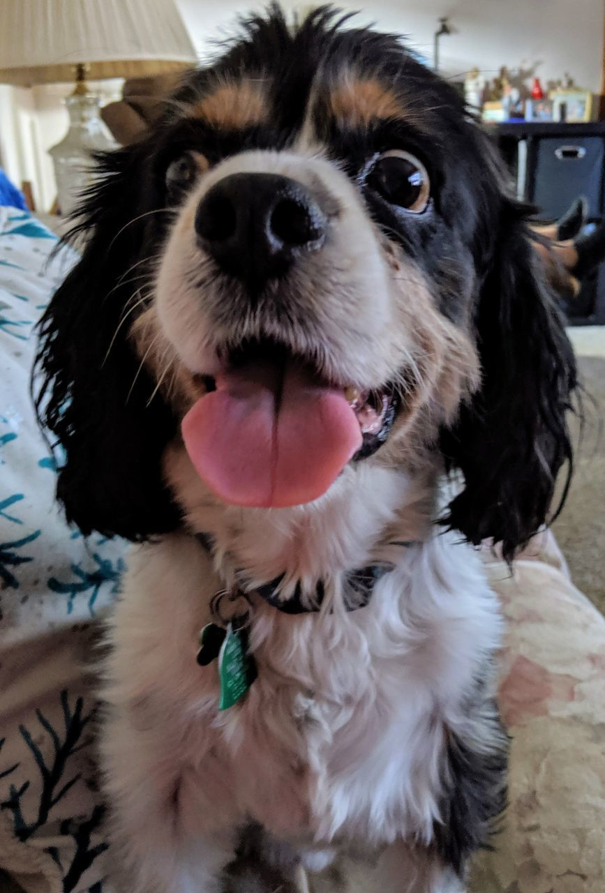 pets, domestic, domestic animals, dog, canine, mammal, one animal, animal themes, vertebrate, animal, close-up, portrait, home interior, looking at camera, indoors, focus on foreground, no people, mouth, mouth open, animal body part, animal tongue, animal head, snout