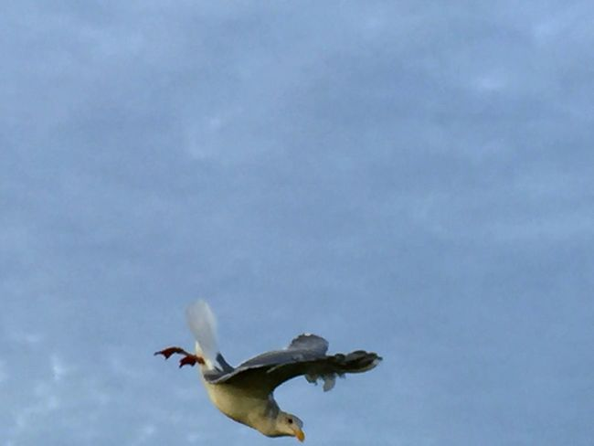 Animal Themes Sky Flying Cloud - Sky Mid-air Low Angle View Motion Copy Space Oregon Coast Beauty In Nature Sea Bird