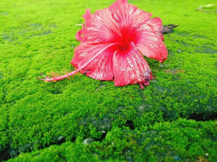 Flower Freshness Green Color Grass Beauty In Nature Pink Color Vibrant Color Flower Head In Bloom Close-up Nature Plant Botany Blossom Selective Focus Petal Flower Freshness Green Color Fragility Grass Beauty In Nature Pink Color In Bloom Petal First Eyeem Photo