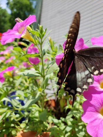 Flower Head Flower Leaf Pink Color Petal Insect Petunia Purple Close-up Plant Butterfly - Insect Blooming In Bloom
