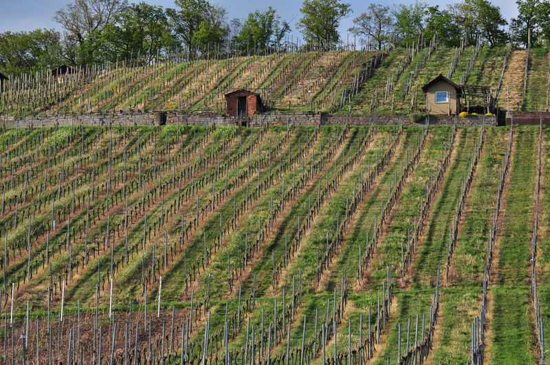 Hütte New Plantation Agriculture Garden Shack Growth Hut Landscape Metal Poles New Vines No People Outdoors Rural Scene Vineyard Viniculture