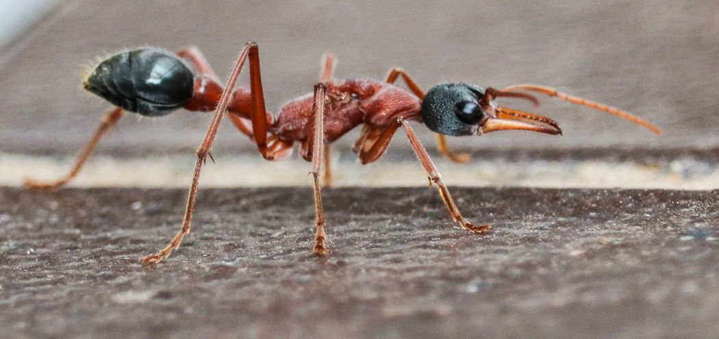 Animal Themes Animal Wildlife Animals In The Wild Ant Black And Tan Bullant Close-up Day Insect Nature No People One Animal Outdoors Pincer