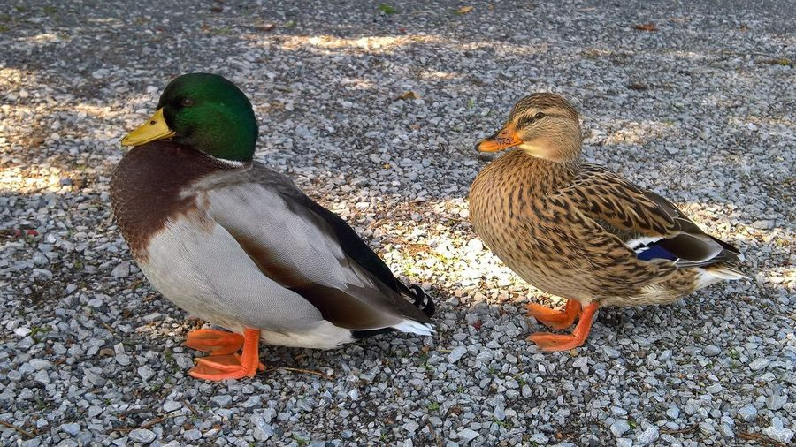Animal Themes Animal Wildlife Animals In The Wild Bird Day Duck Mallard Duck Nature No People Outdoors Togetherness