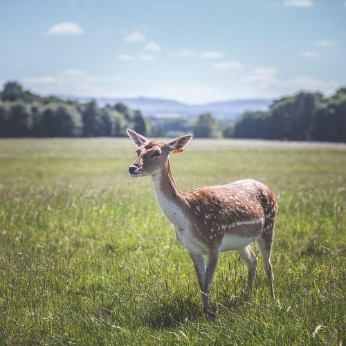 Portrait of deer standing on field against sky