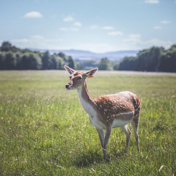 Oh Deer... Nature One Animal Animal Wildlife Grass Animal Nature Outdoors Animal Themes Standing Landscape Field No People Beauty In Nature Looking At Camera Dublin Phoenix Park Ireland Mix Yourself A Good Time