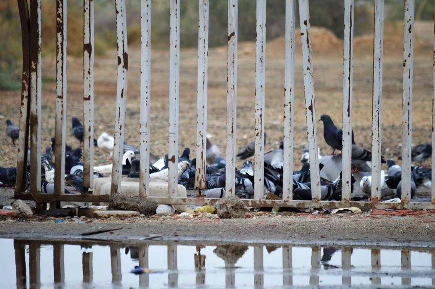 Animal Group Of Animals Animal Themes Bird Animal Wildlife Animals In The Wild Vertebrate Large Group Of Animals Water Nature Animals In Captivity In A Row Day No People Flock Of Birds Outdoors Boundary Barrier Fence
