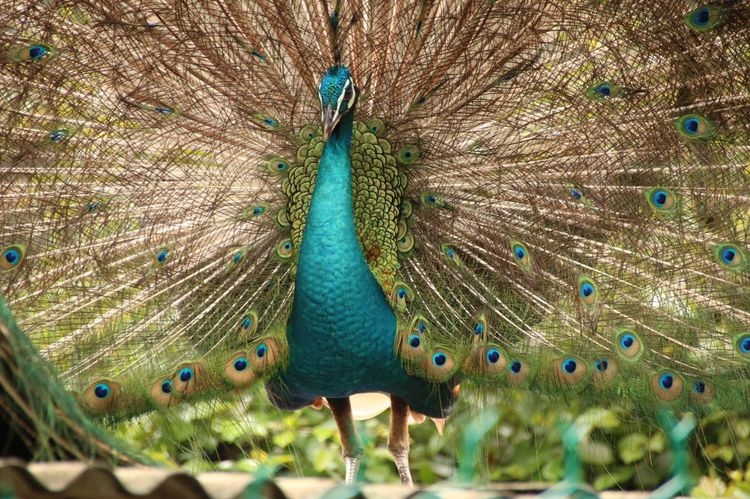 Oh wery scary Peacock Bird Photography Bird Park Wildlife Colorful Nature Birds Park Wild Birds_collection Malezya Park Day Nice