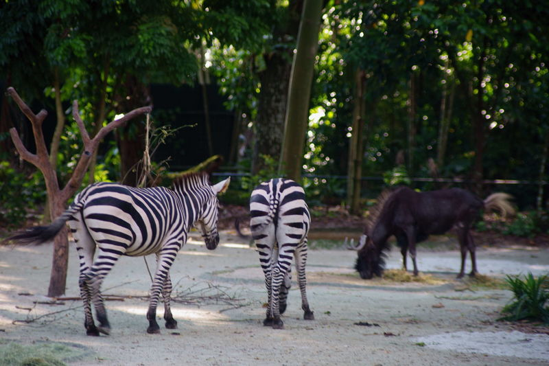 Zebras Mammal