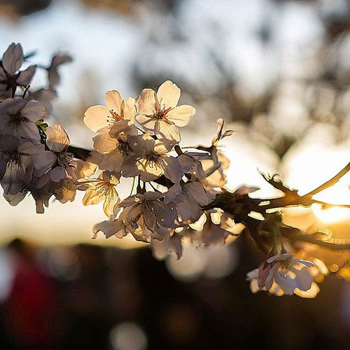 A beautiful end to a beautiful day in Washington DC Cherryblossom2015 Sunset Family Ztprod