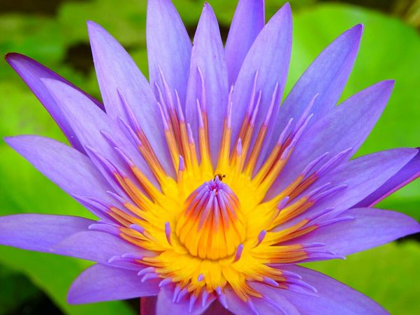 Lotus Flower Purpleflowers Serene Peace