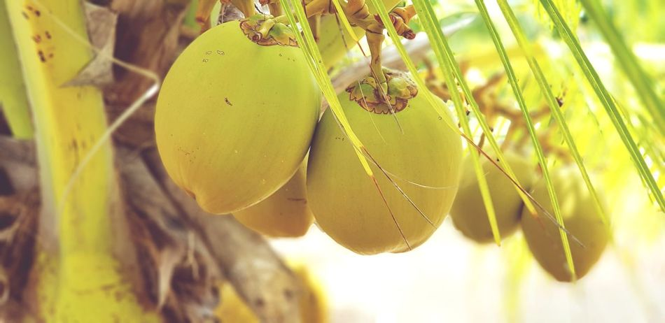 I'm in love with the coco Guadeloupe Nature Coco Water Creole Sun NanNan Koko Creole Tree Yellow Fruit Hanging Close-up Plant