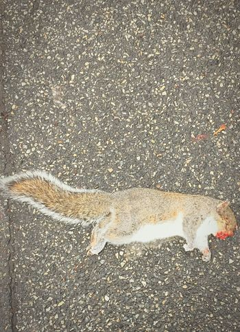 Squirrel Dead Animal Roadkill Stiff