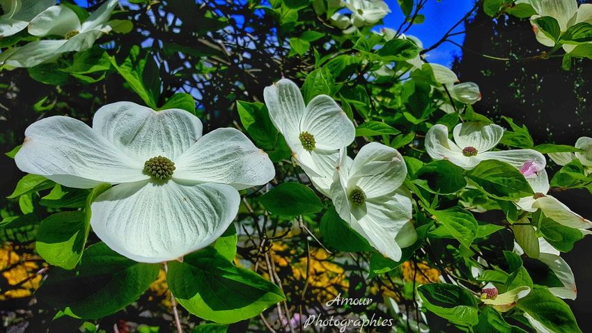 Dogwood Blooms (pt.3) . Amour Photographies Dogwood Blossom Dogwood Dogwood Tree Dogwood Blooms Blooms Blossom Blooming Flower Up Close And Personal Earth Porn Flower Porn Beautiful British Columbia Lake Cowichan Vancouver Island Canada Flower Photography Explore Canada  Island Life Simple Photography Connecting To Earth Outdoor Life Explore More Beautiful