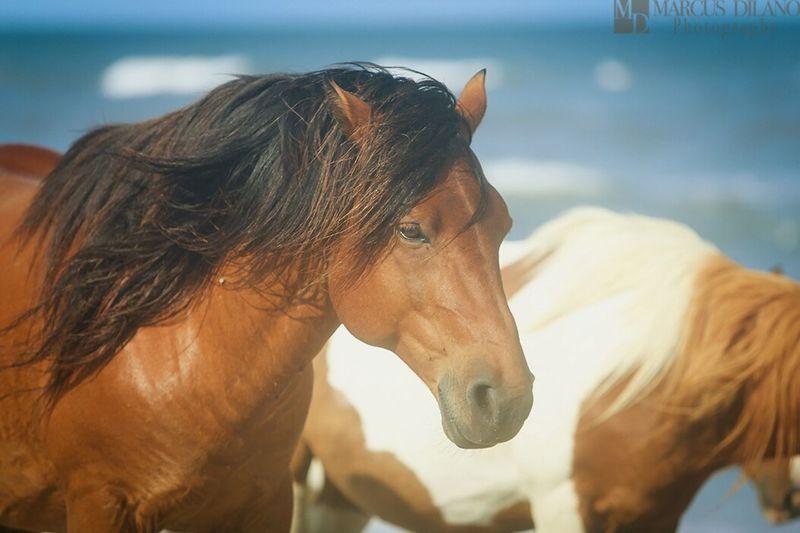Wild Horses on Assateague Ponies Of Assateague Island Assateague Island Oceancitycool Maryland Beaches Beaches Maryland Ponies Popular Photos Beautiful Animals  Horses