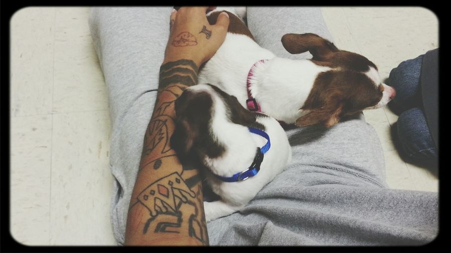 my babies Dog #chihuahua