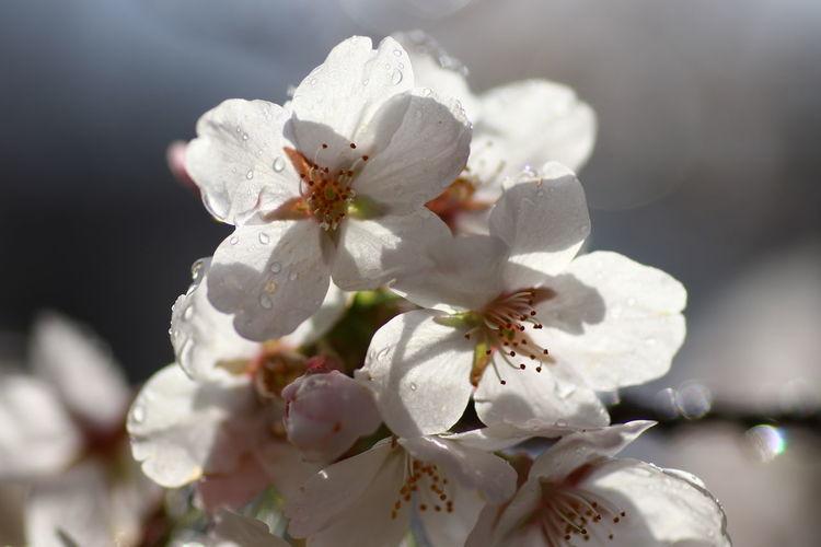 おはよう~来週まで🌸咲いてるかな😅 Nature Nature Photography Macro Macro Photography 桜 貧乏マクロ Flower Head Flower Springtime Petal Blossom White Color Close-up Plant Cherry Blossom