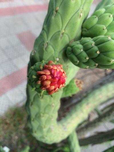 Enjoying Life Naturaleza Cosas De La Vida Fotografía Urbana DetallesDeLaCiudad Hi! Cactus Cactus Flower Belleza Natural Santiago De Chile