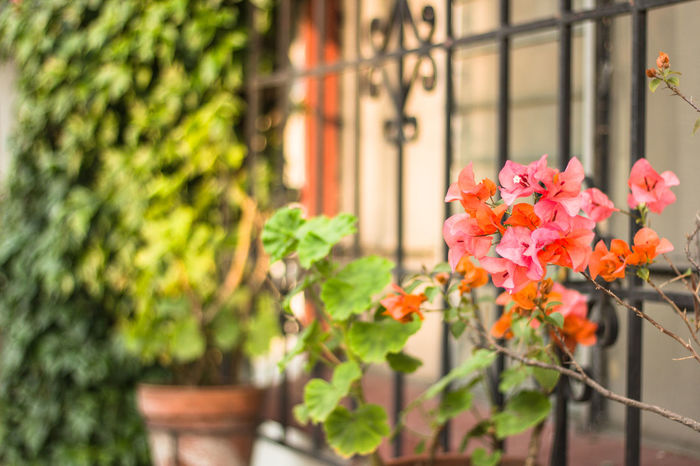 Ventana mexicana Flower Flowering Plant Plant Growth Beauty In Nature Freshness Nature Vulnerability  Plant Part Fragility Petal No People Leaf Day Pink Color Focus On Foreground Outdoors Close-up Green Color Boundary Flower Head Flower Pot