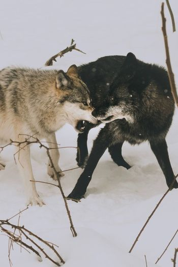 Close-up of two fighting wolfs