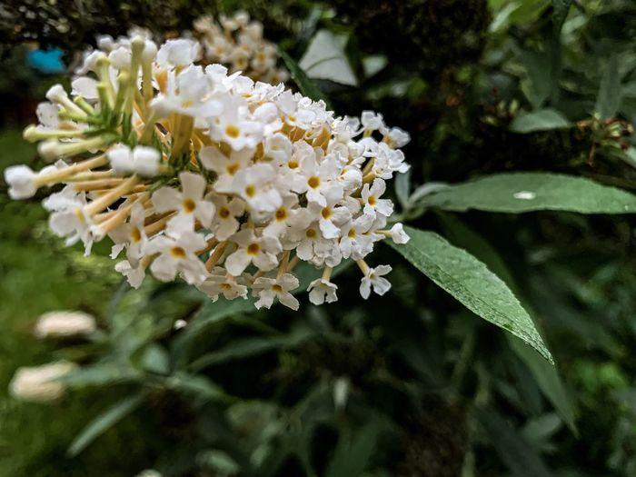 Butterfly Bush,