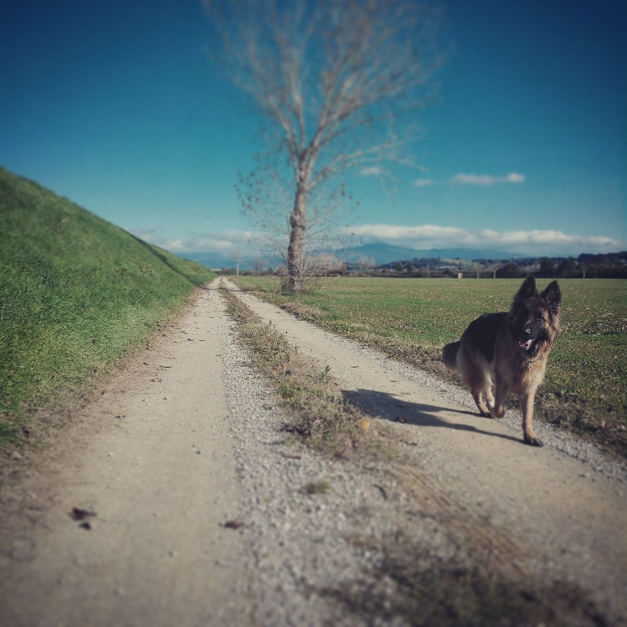 the way forward, diminishing perspective, domestic animals, road, animal themes, one animal, mammal, dog, transportation, nature, no people, landscape, outdoors, day, field, sky, pets, grass, tree