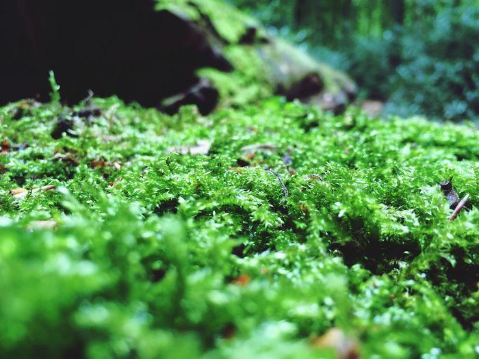 Moos Moss