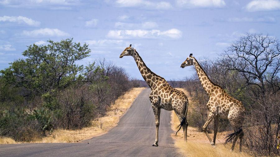 Giraffes on road against sky