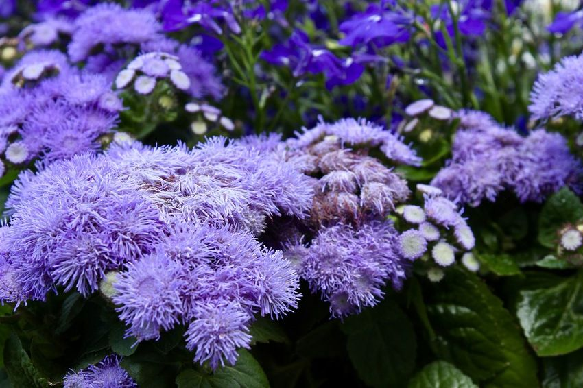 Beauty In Nature Close-up Day Flower Flower Head Fragility Freshness Growth Nature No People Outdoors Plant Purple
