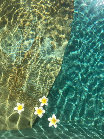 High angle view of flowers floating on swimming pool