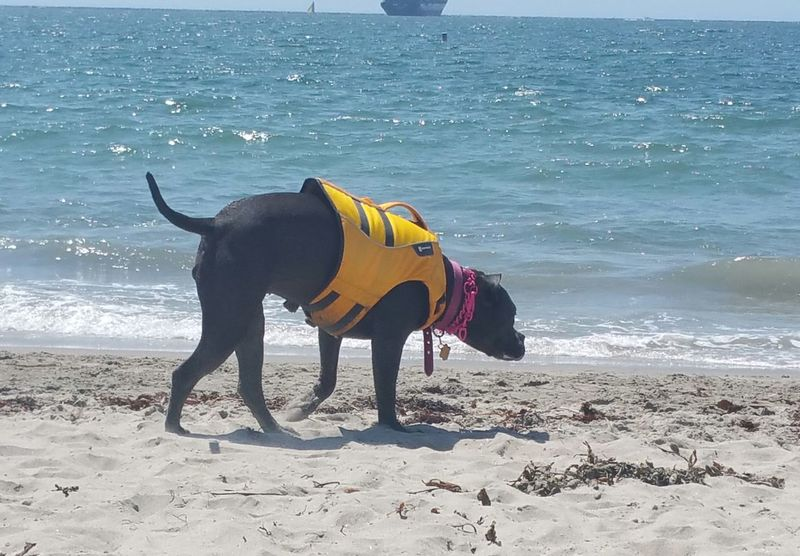 One Animal Animal Themes Beach Water Sea Domestic Animals Sand Dog Mammal Shore Wave Zoology Side View Pets Yellow Tranquil Scene Nature Outdoors Animal Blue Life Vest Playing Wave Simplicity Oceanside